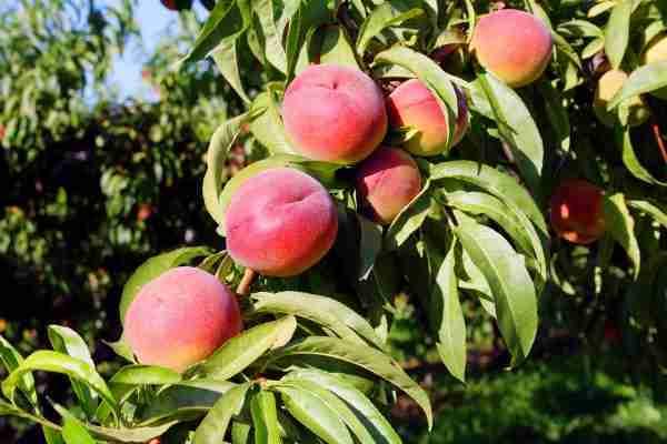 Dwarf O'Henry Peach fruit trees from PlantNet