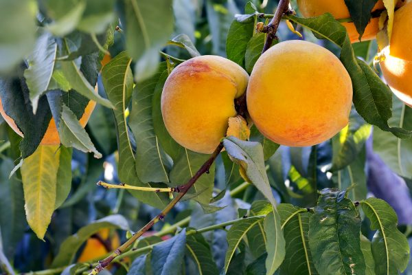 Silvan Sunset fruit tree - buy online- PlantNet