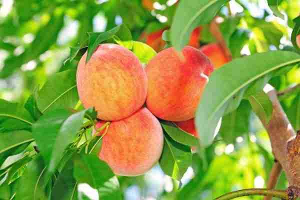 Delight-ful Peach- Subtropical- PlantNet