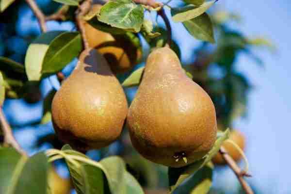 Dwarf Buerre Bosc Pear