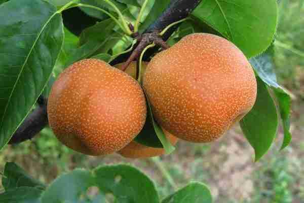 Dwarf 20th Century Nashi Pear from PlantNet Australia