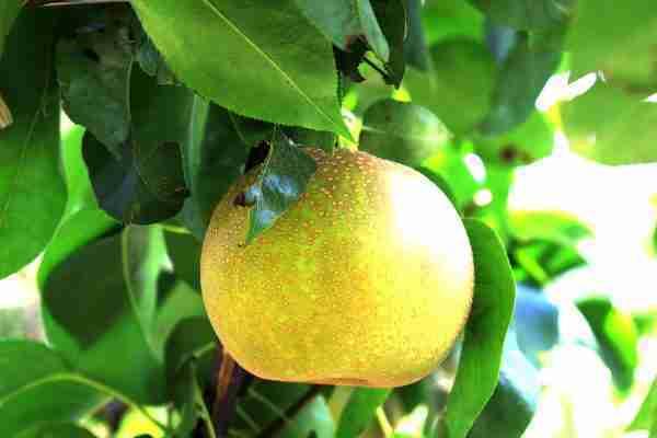 Dwarf Bonza Pear fruit tree from PlantNet Australia