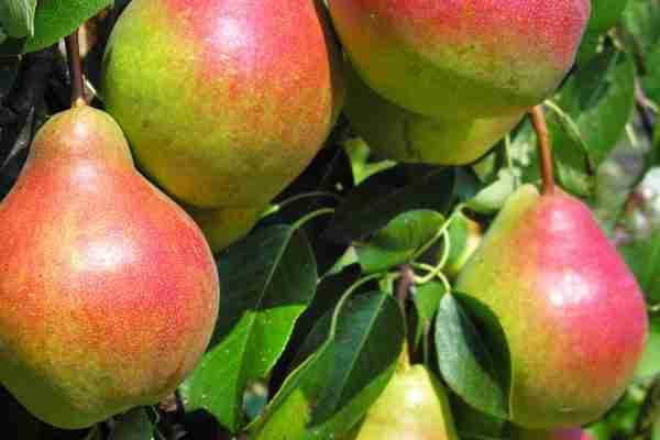 Dwarf Corella Pear fruit tree