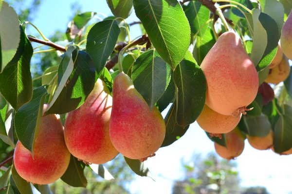 Dwarf Mirandino Rosso Pear fruit tree root stock from PlantNet Australia