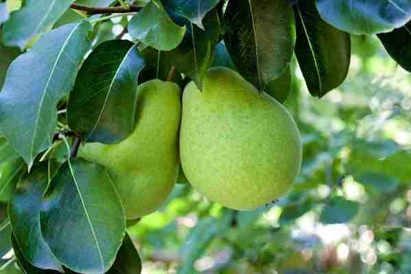 Dwarf Packam's Triumph Pear - fruit tree from PlantNet Australia