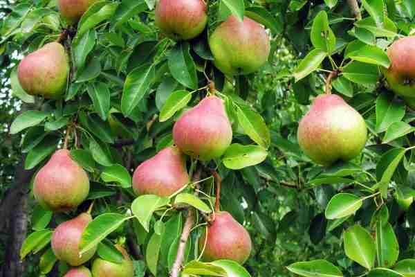 Dwarf Pretty Face Pear fruit tree from PlantNet Australia