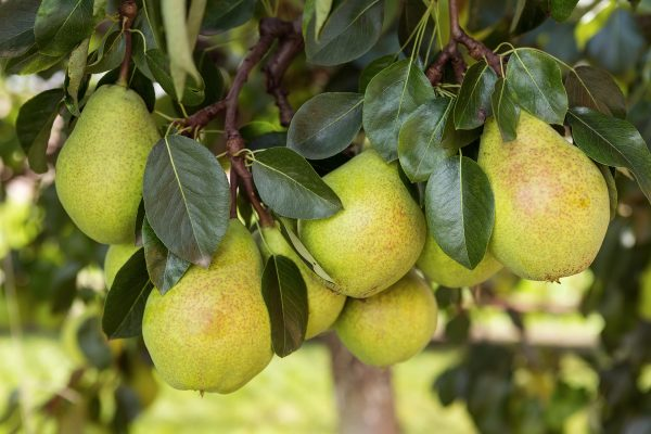Dwarf Williams Pear - fruit tree root stock from PlantNet Australia