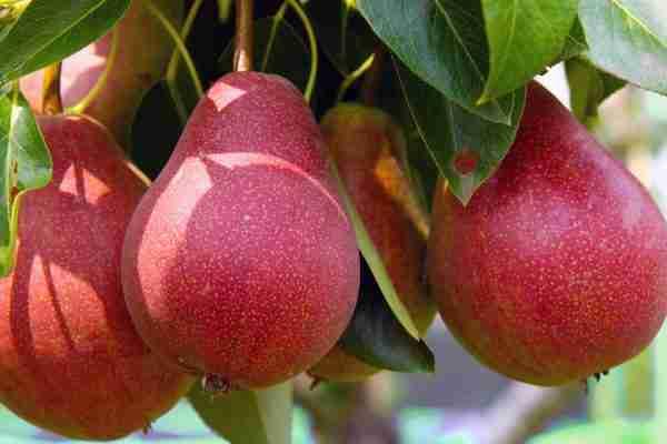 Dwarf Red Sensation Pear