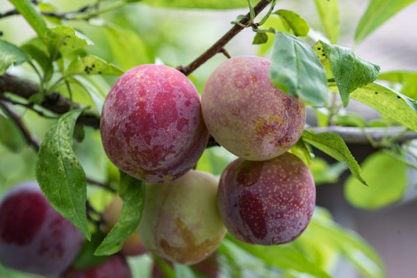 Dwarf Donsworth Plum fruit tree root stock from PlantNet