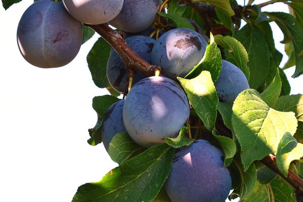 Dwarf King Billy Plum fruit tree - PlantNet