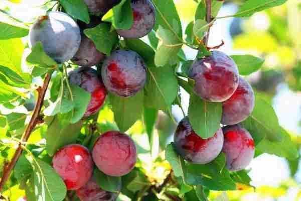 Dwarf Satsuma Plum dwarf fruit tree from PlantNet