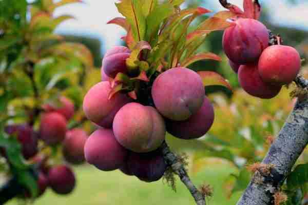Dwarf Sunrise Gulf Plum - fruit tree from PlantNet