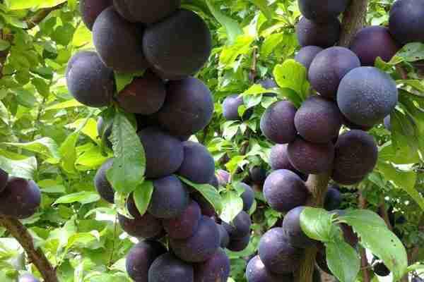 Spring Satin Plumcot Plum from PlantNet - Buy Online